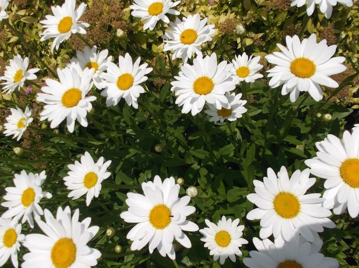 Beauty In Nature Blooming Daisy Day Delicate Flora Flower Flower Head Fragility Freshness Garden Growth Nature No People Outdoors Petal Plant Spring Vegetation White Color Yellow
