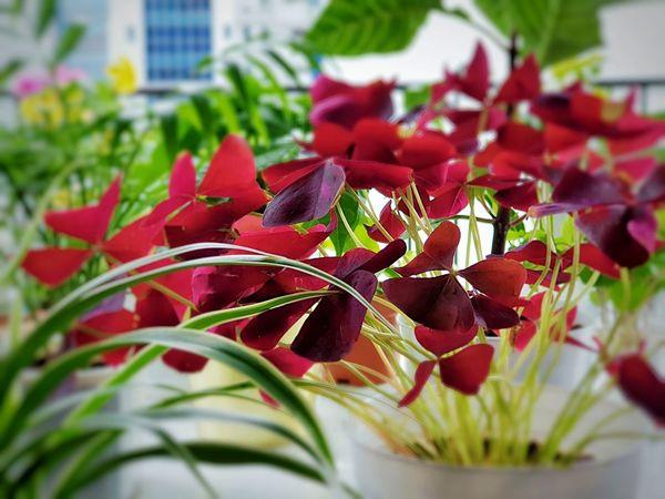 Oxalis Triangularis aka Purple Shamrock Morning Light Purple Shamrock Plant Photography Oxalis Leaf Red Close-up Plant Life