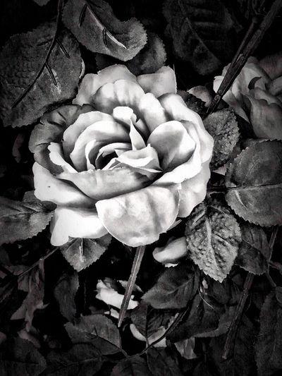 Silk Rose Black & White Flower Flower Head Rose - Flower Creative Beautiful Flowers LPhoneography Black&white Black & White