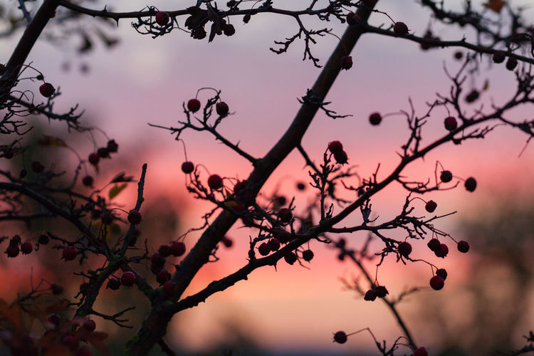 Autumn sunrise Autumn Berries Nature Beauty In Nature Berry Branch Close Up Close-up Colorful Contrast Flower Growth Macro Nature No People Outdoors Purple Sky Sky Sunrise Sunrise_sunsets_aroundworld Sunset Tree