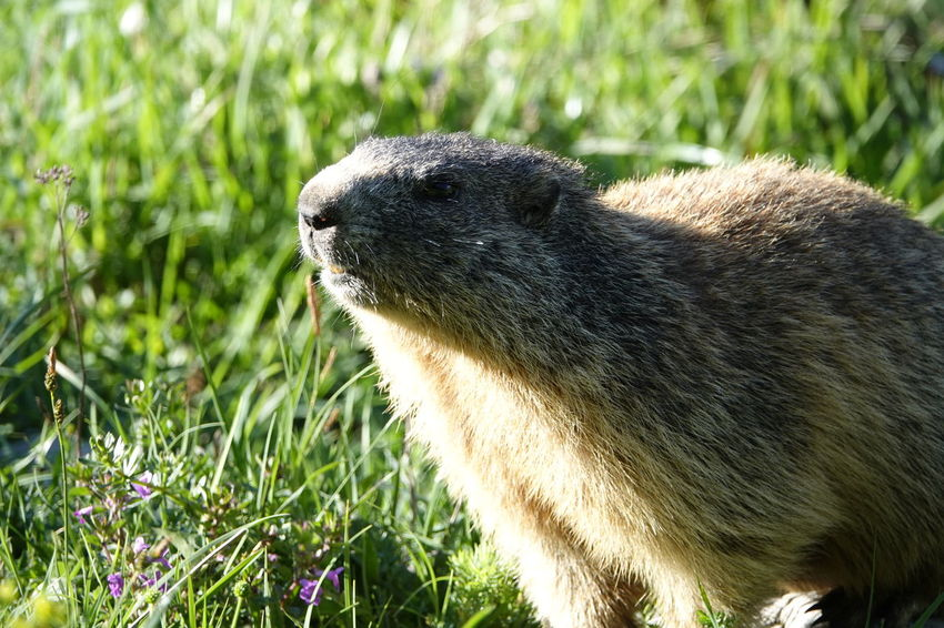 On the way up I met these little ones. Keep your eyes open you might find something unexpected. Mammal Marmot Murmeltier Marmota Alps Berchtesgaden National Park Nationalpark Berchtesgaden Mountain Mountain Animal Animals In The Wild Animal Wildlife Close-up Grass Grass Area The Great Outdoors - 2018 EyeEm Awards The Traveler - 2018 EyeEm Awards
