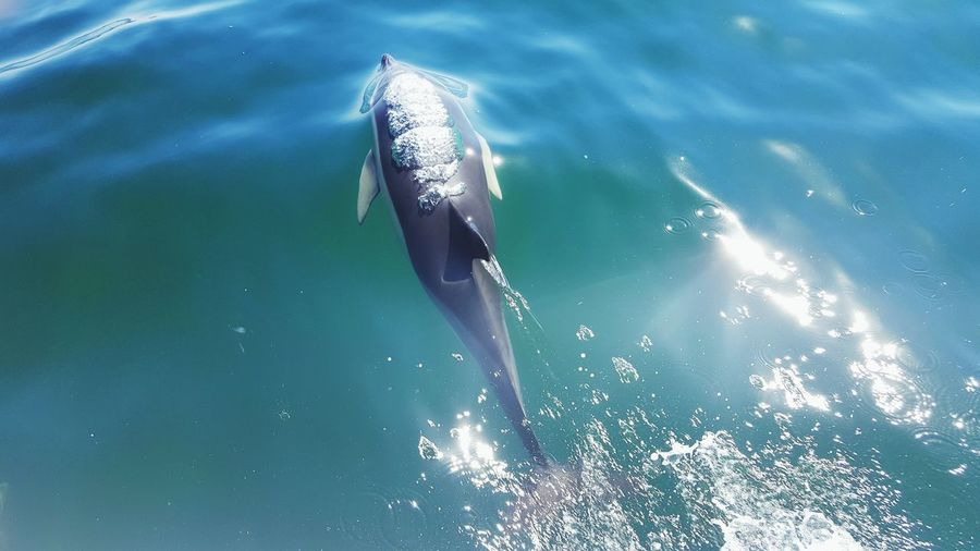 High Angle View Of Dolphin Swimming In Ocean On Sunny Day
