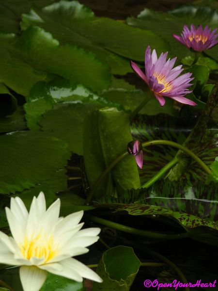 Waterlily 🌷 Waterlilypond Waterlilyphotography Flower Head Petal Leaf Plant Growth Beauty In Nature Close-up Freshness 3XSPUnity 3XSPhotographiUnity 3XSPhotography Travelling Thailand Marco Blossom Multi Colored Fragility High Angle View No People Outdoors Beauty Day Lotus Water Lily