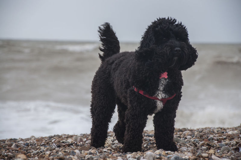 Beach Black Blackandwhite Cockapoo Dog Domestic Animals Empty Space Holiday Mammal Mixed-bread Nature Outdoors Outside Pet Poodle Puppy Sea Spaniel Stones Storm Water Wave Waves Wind Windy