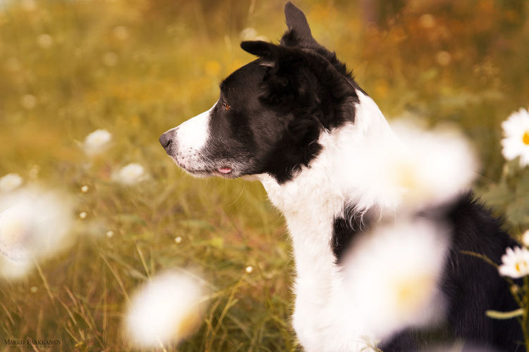 Border Collie Domestic Pets Domestic Animals One Animal Dog Mammal Canine Animal Themes Animal Looking Looking Away Plant Vertebrate Selective Focus No People Field Grass Day Nature Outdoors Animal Head  Profile View Jack Russell Terrier