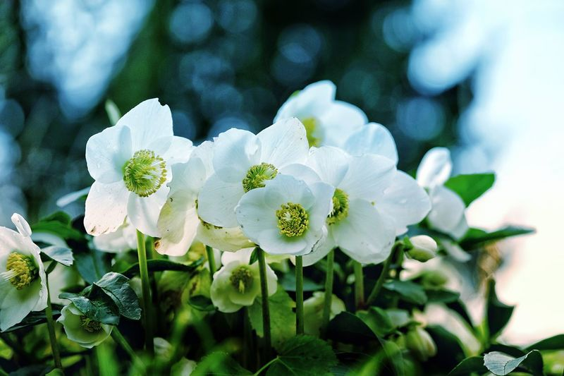 Heleborus Flower Nature Petal Beauty In Nature Fragility Growth White Color Plant Flower Head Freshness Leaf No People Blooming Tree Close-up Day Outdoors