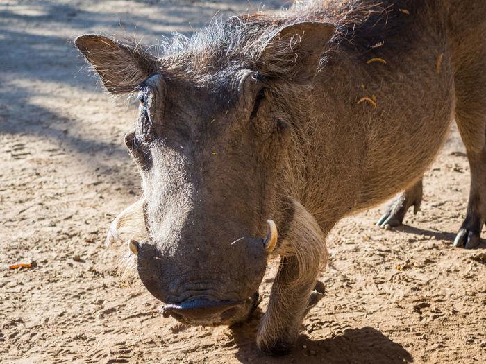 Close-up of kneeling warthog in botswana, africa