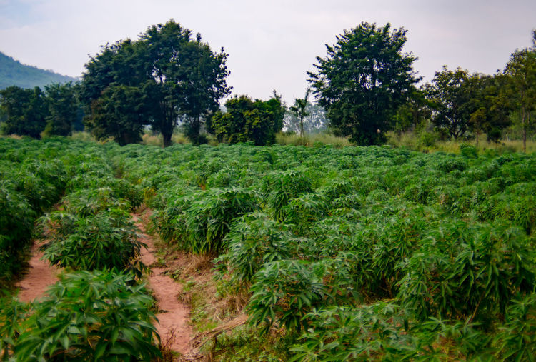 Tapioca farm Agriculture Farm Agriculture Beauty In Nature Cassava Cassava Trees Day Environment Field Green Color Growth Land Landscape Nature No People Outdoors Plant Plantation Rural Scene Scenics - Nature Sky Tapioca Plant Tranquil Scene Tranquility Tree