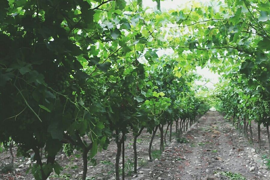 Field Grapes Grapefield Summer Green Nature Enjoying Life