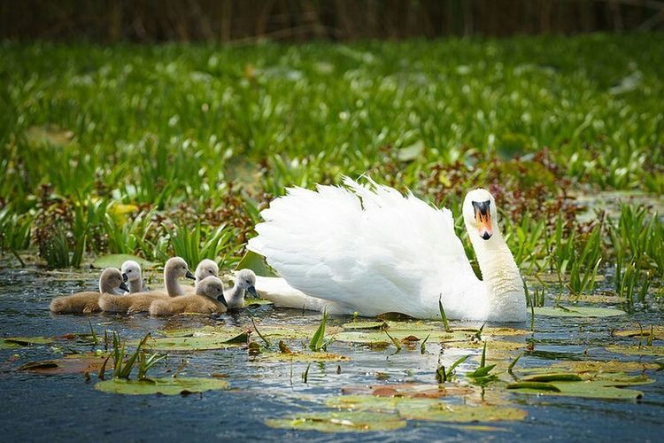 Swan Bird Animal Wildlife Animals In The Wild Animal Nature Young Bird Grass Outdoors No People Day Animal Themes Water Nature Delta Dunarii Travel Destinations Mila 23 Adrian Mitu Animals In The Wild Romania Young Animal