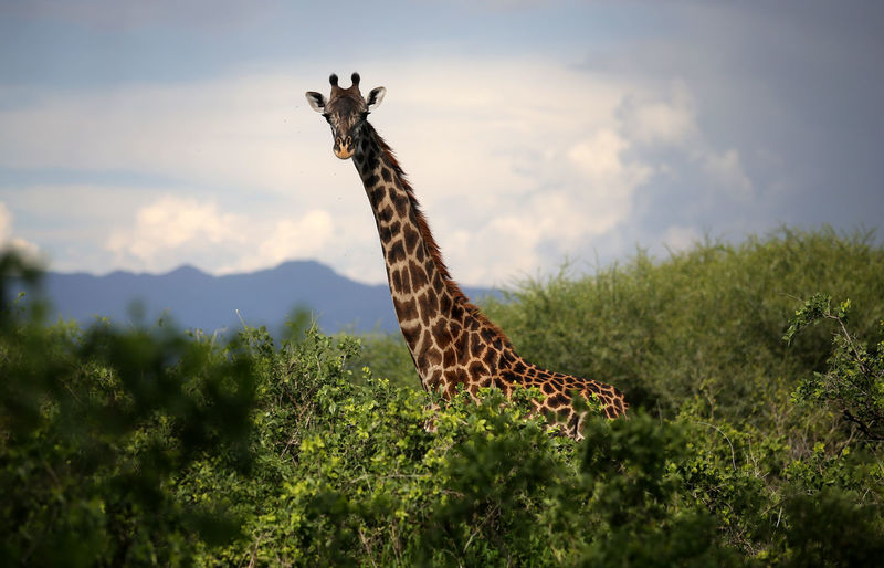 Giraffe standing on grass against sky