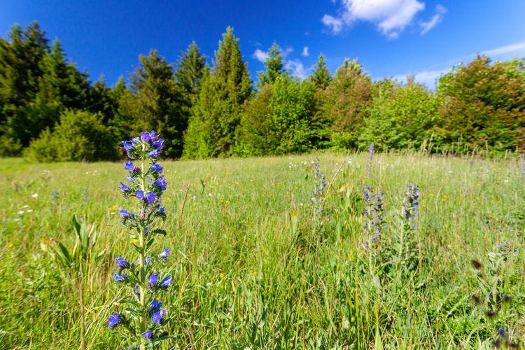 Purple flowering plants on field against blue sky