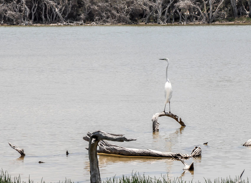 Large white Heron standing on a leafless branch in the wetland waters at Lake Coogee in Western Australia. Australia Beauty In Nature Bird Branches Conservation Fauna Heron Lake Lake Coogee Leafless Nature Non-urban Scene One Animal Outdoors Reserve Scenics Wading Bird Water Western Australia Wetland White White Heron Wildlife Wildlife & Nature Wildlife Photography