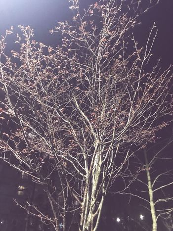 開花前の桜🌸 桜の木 EyeEm Selects Night No People Low Angle View Illuminated Tree Nature