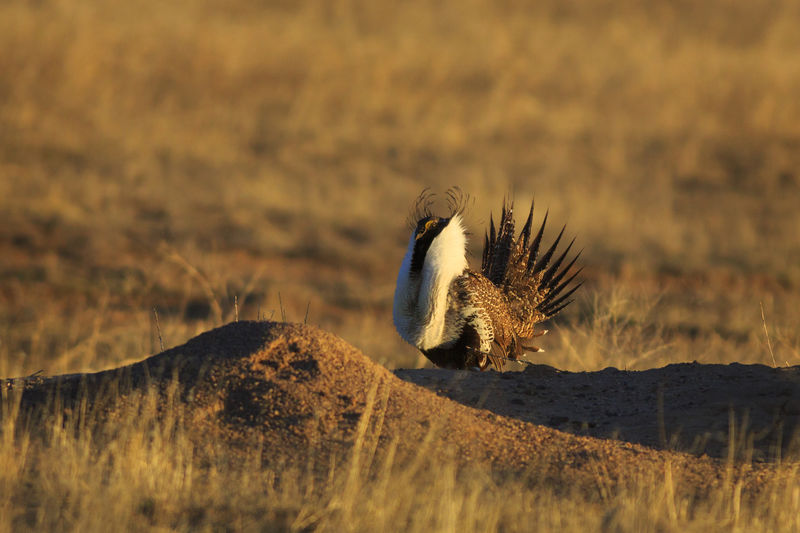 Sage grouse on field