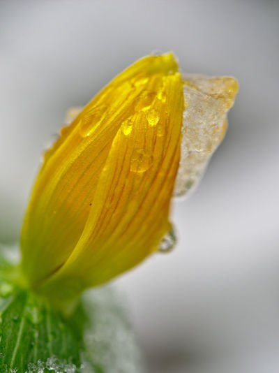 Ice Beauty In Nature Close-up Day Flower Flower Head Focus On Foreground Fragility Freshness Growth Ice On Flower Ice On Flowers Nature No People Outdoors Petal Plant Water Yellow