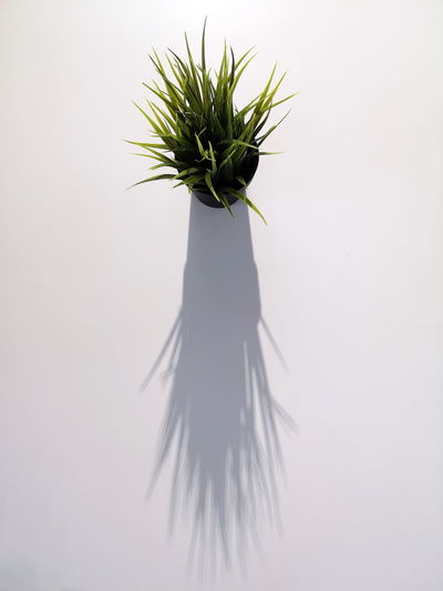 From Above  Close-up Dinner Table Green Color Indoors  Light And Shadow Long Shadow No People Perspective Photography Plant Potted Plant Table Decoration White Background White Color
