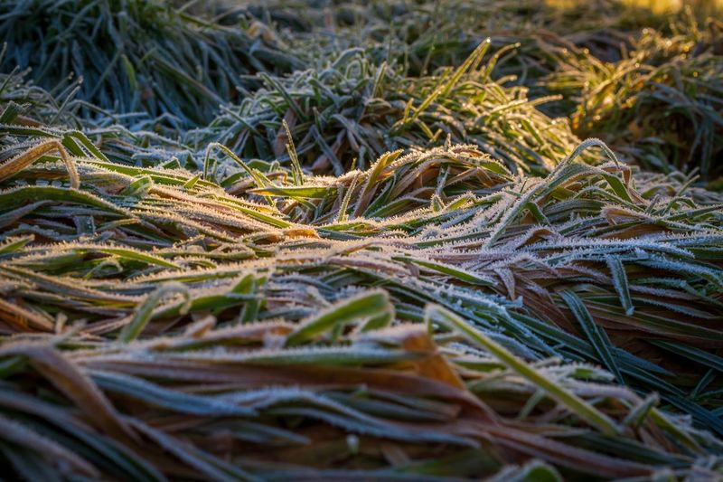 LINE Grass Ice Frost Plant No People Nature Selective Focus Growth Beauty In Nature Close-up Land Day Plant Part Grass Green Color Leaf Full Frame Outdoors Winter Cold Temperature My Best Photo