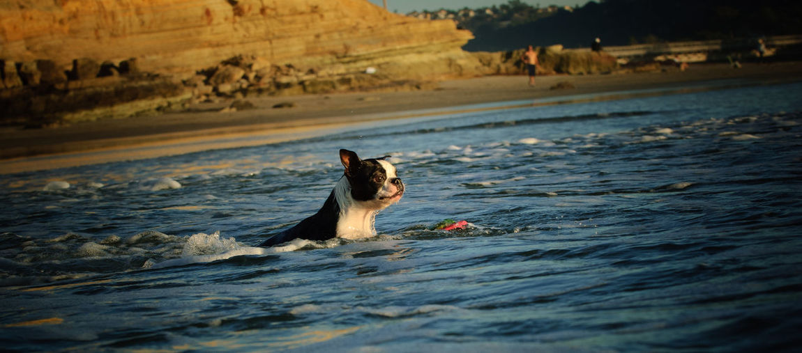 Boston Terrier dog swimming out into the ocean to retrieve toy Dog Canine Water Animal Sea Waterfront Day Selective Focus Nature No People Animal Themes One Animal Outdoors Domestic Animals Pets Boston Terrier Terrier Swimming Del Mar Dog Beach Fetching