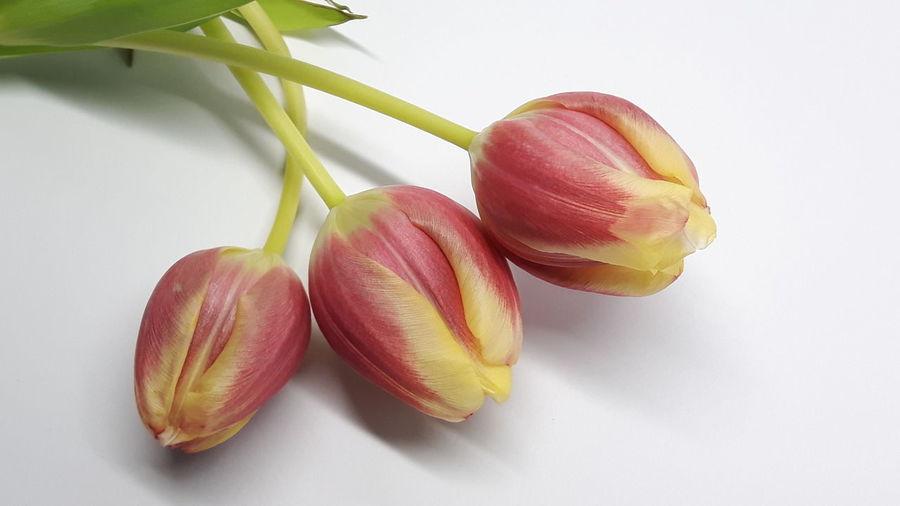 *11 Tulip trio