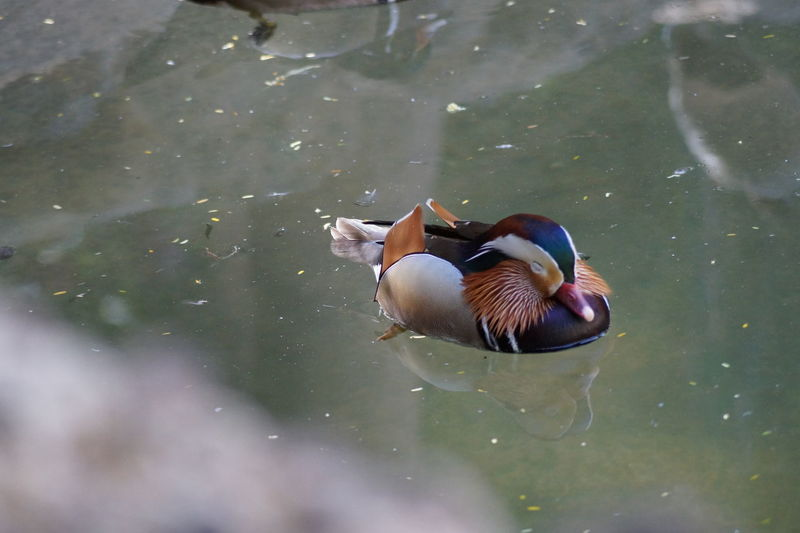 Mandarin Duck Swimming On Lake