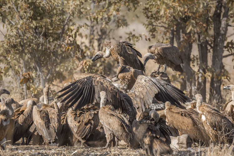 Flock of vultures scavenging on a field