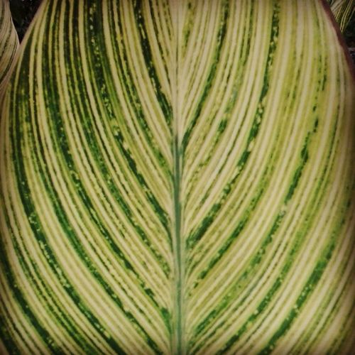 Patterns Naturespatterns Leaf Floweringplant Design Lookslikeawatermelon Appreciatingnature Symetrical Photosynthesis Plantlife Greenery Natural Beauty Green Gogreen Cleanup Virar Lookwhatifound Mothernature Lookaroundyou Stopandstare Inappreciation