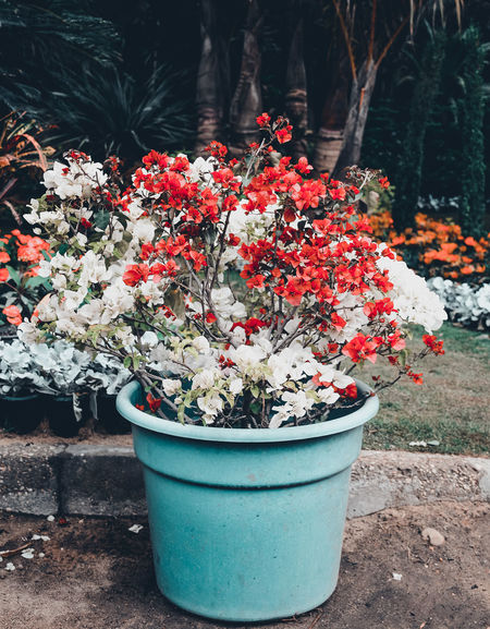 Beauty In Nature Beauty In Nature Day Flower Flowers Fragility Freshness Growth Nature No People Outdoors Plant Potted Plant Red Roses Sprig