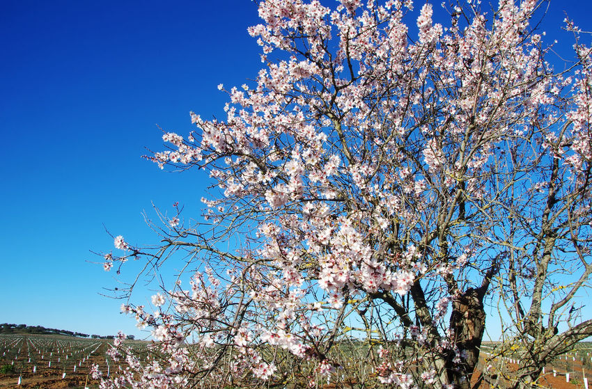 almond tree blooming in field, south of Portugal South Of Portugal Almond Tree Beauty In Nature Blooming Blossom Branch Clear Sky Flower Flower Head Growth Nature Springtime Tree