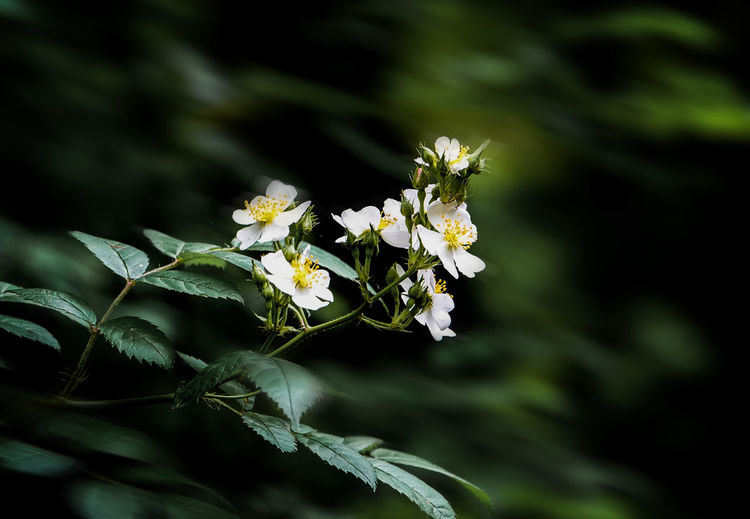 Deep in the forest Flower Plant Flowering Plant Beauty In Nature Petal Nature Flower Head Leaf White Color Selective Focus No People Close-up Wildflowers In Bloom Deep In The Forest Forest Rural Wilderness Hiking Trail