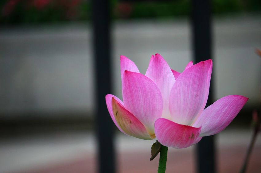 Lotus flower bomb Exklusive_shot #tasteintravel #beautifuldestinations #exploreeverything #watchthisinstagood #superhubs #big_shotz #mkexplore #huffpostgram #welltraveled #agameoftones #wildernessculture #letsgosomewhere #shotaward #folkgood #exploretocreate #way2ill #crea Lotus Flower NoEditNoFilter