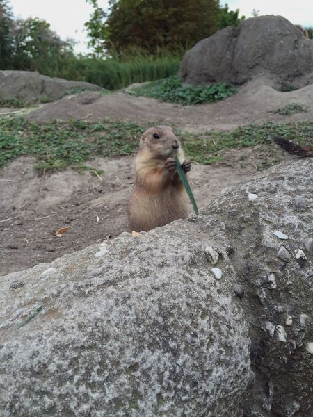 Prairie Dogs Prairie Dog One Animal Animal Themes M Front View Mammal Zoology Day Nature Looking Outdoors Beauty In Nature