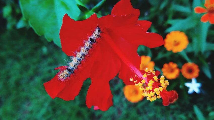 Feeding Time Caterpillar Photography Caterpillar Eating Caterpillar On Flowers Hibiscus Flower Hibiscus 🌺 Outdoors No People Close-up Red Growth Plant Flower Beauty In Nature Freshness Day Morning Walk Beautiful Day Clouds And Sky Beautiful Nature