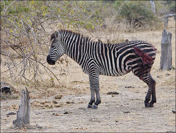 Injured Animal Themes Animal Wildlife Animals In The Wild Day Full Length Injured Zebra Mammal Nature No People One Animal Outdoors Prey Animal Safari Animals Standing Striped Zebra