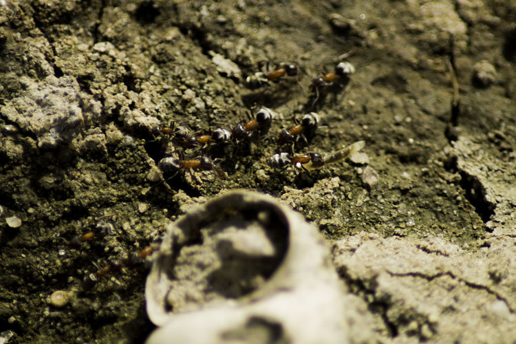 Ants Ants At Work Ants On The Go! Antsveiw Backgrounds Beauty In Nature Close-up Day Detail Full Frame Insects  Insects Collection Macro Ant Macro Beauty Macro Insects Macro Nature Macro Photography No People Outdoors Pebble Selective Focus Shells Beach Shells🐚 Surface Level