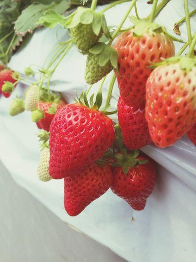 たわわ Fruit Healthy Eating Berry Fruit Food And Drink Food Strawberry Red