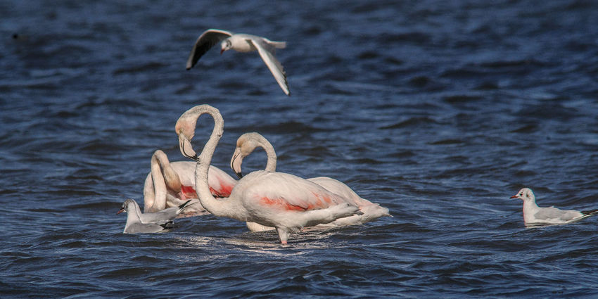 Orbetello Park Bird Photography Pink Pink Flamingo Animal In Water Flamingos Flamingos In Water Flight Water