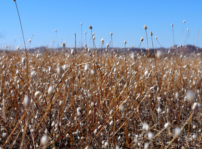 Cotton plants on field against clear blue sky