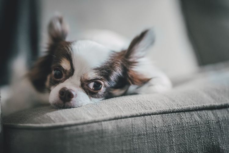 Chihuahua resting and bored One Animal Pets Domestic Dog Canine Mammal Domestic Animals Animal Themes Animal Indoors  Portrait Close-up Home Interior Chihuahua Chihuahua - Dog Lap Dog No People Small