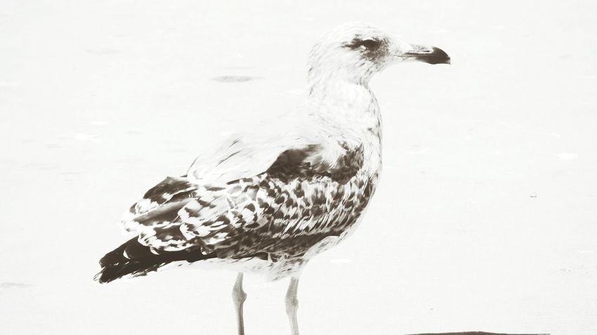 Seagull on land... walking around near me... Seagul EyeEm Nature Lover Eyeem Black And White Eyeem Monochrome Seagull Serenity Seagull EyeEm Bnw