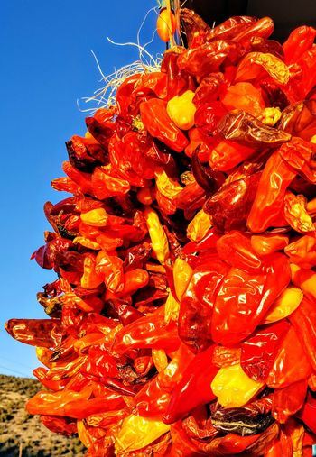 Peppers in the Sun Pepper New Mexico Peppers Drying Southwest  Food Flower Head Nature Fragility Close-up Plant Outdoors Freshness