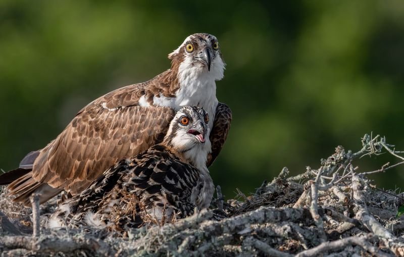 Close-up of bird of prey with young animal in nest