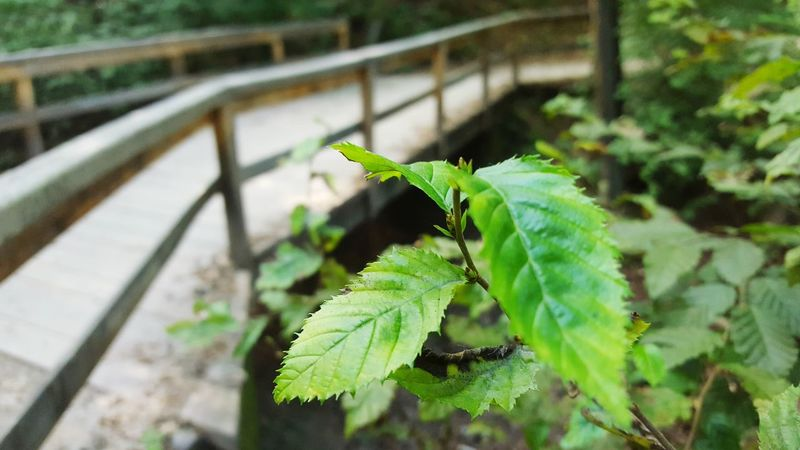 Leaf Plant Growth Nature Green Color Close-up Beauty In Nature Leaves No People Nature Day Freshness Fragility Bridge Bridges Bridge Nature Green Nature Park Woods Wood Minimalism