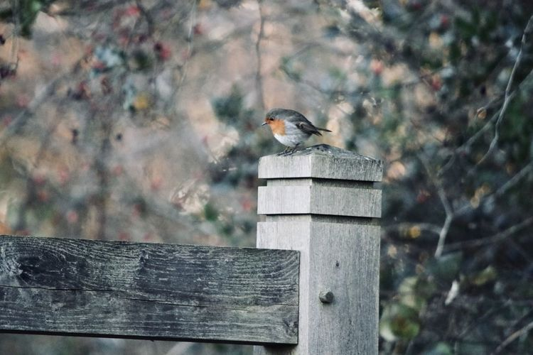 Close-up of bird perching on wooden fence