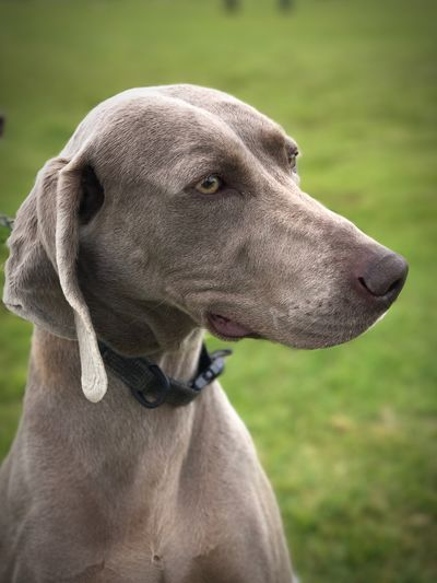 EyeEm Selects Dog Pets Animal Themes Domestic Animals Weimaraner Mammal One Animal Focus On Foreground Pet Collar Outdoors No People Day Close-up Nature