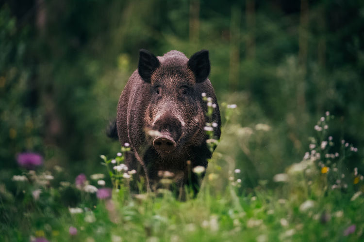 Portrait of pig in forest