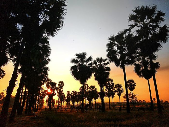 early morning Tree Sunset Silhouette Sky Single Tree Farmland Coconut Palm Tree Tropical Tree Date Palm Tree Frond Palm Tree Coconut Palm Leaf Patchwork Landscape Agricultural Field Tree Trunk Rainforest Tree Area Woods Cultivated Land Tranquil Scene Treetop