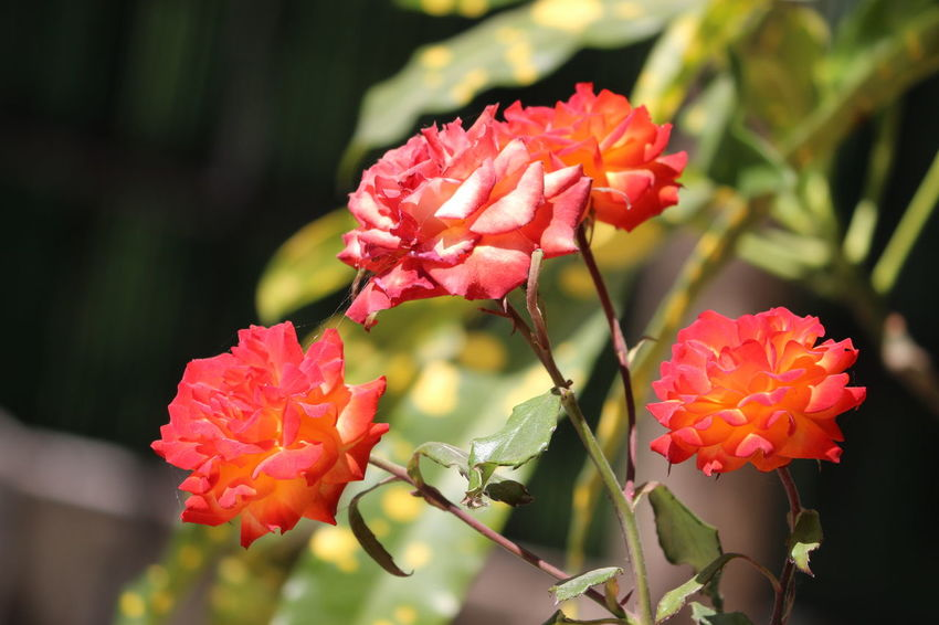 Bali Close-up Color Colorful Hanging Out Nature Nature_collection Outdoors Red, Flower,macro Rosé Single Flower White