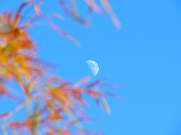 Daytime Moon Clear Blue Sky Branches Autumn🍁🍁🍁 Fall Leaves Beauty In Nature From A Distance Photography