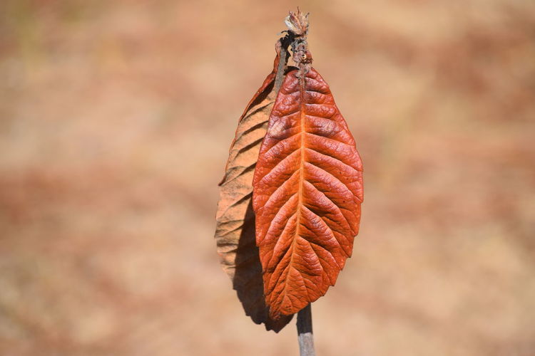 Autumn Beauty In Nature Brown Medlar No People Outdoors